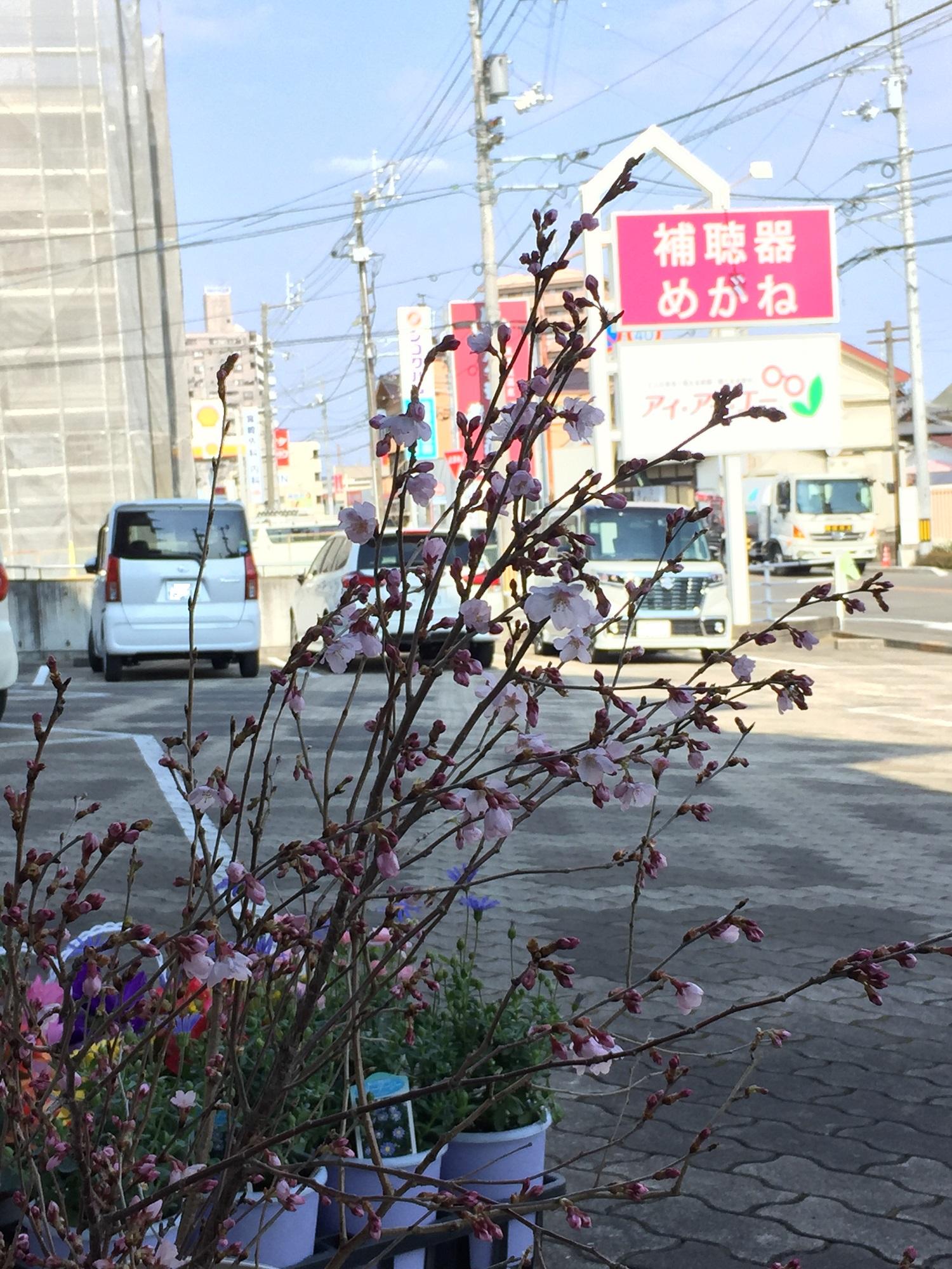啓翁桜(ケイオウサクラ)