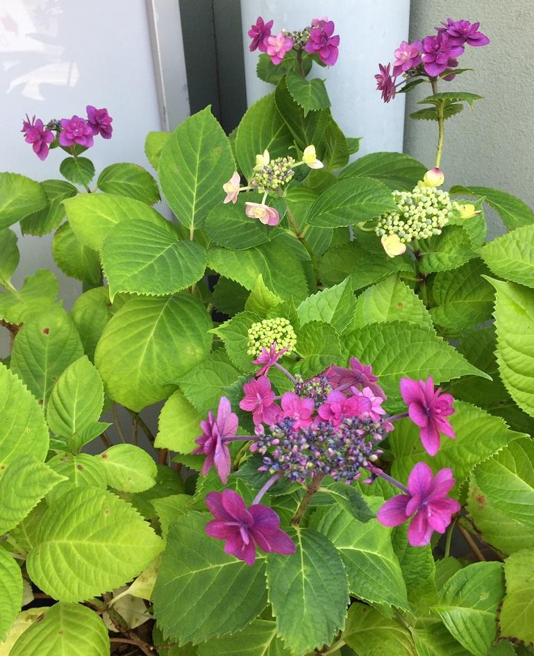 今年は紫陽花咲きました!